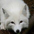 Arctic Fox 1 by JaneTara Oliver