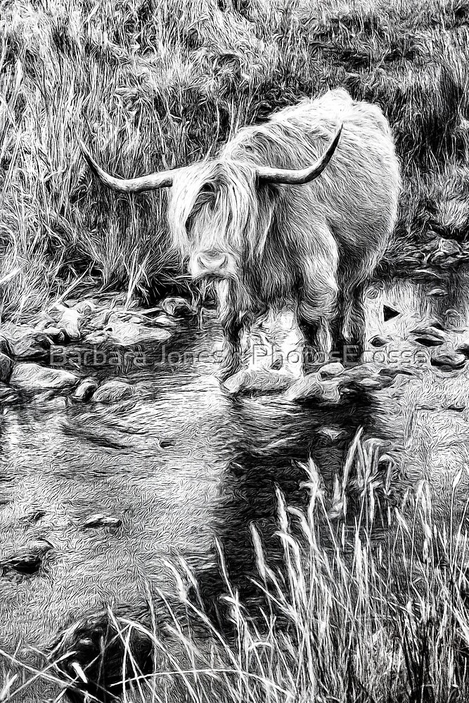Highland Cow Sketch. Ballygown. Isle of Mull. Scotland. by Barbara  Jones ~ PhotosEcosse