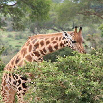 Uganda Murchison Falls National Park Giraffe Acacia Trees Thorny Acacia by eickys