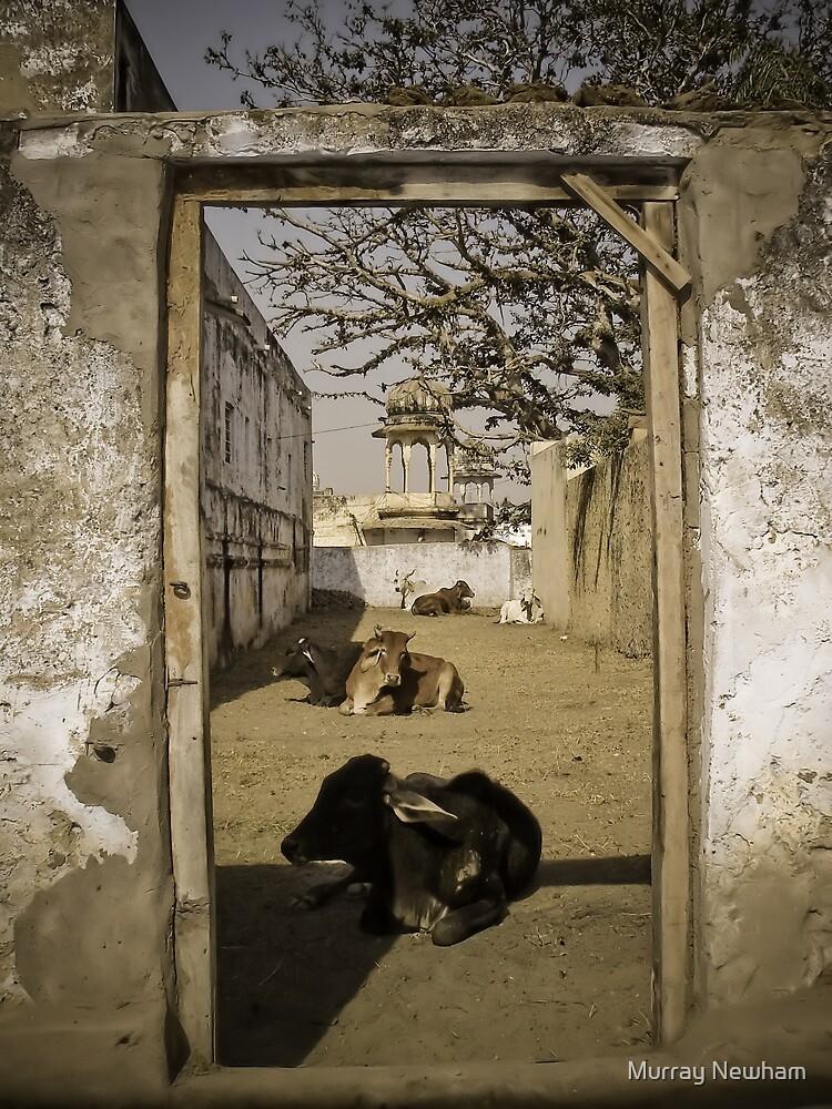 Pushkar Cows by Murray Newham