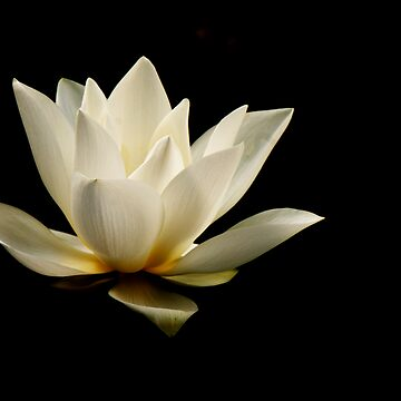 Lotus by ccchan27