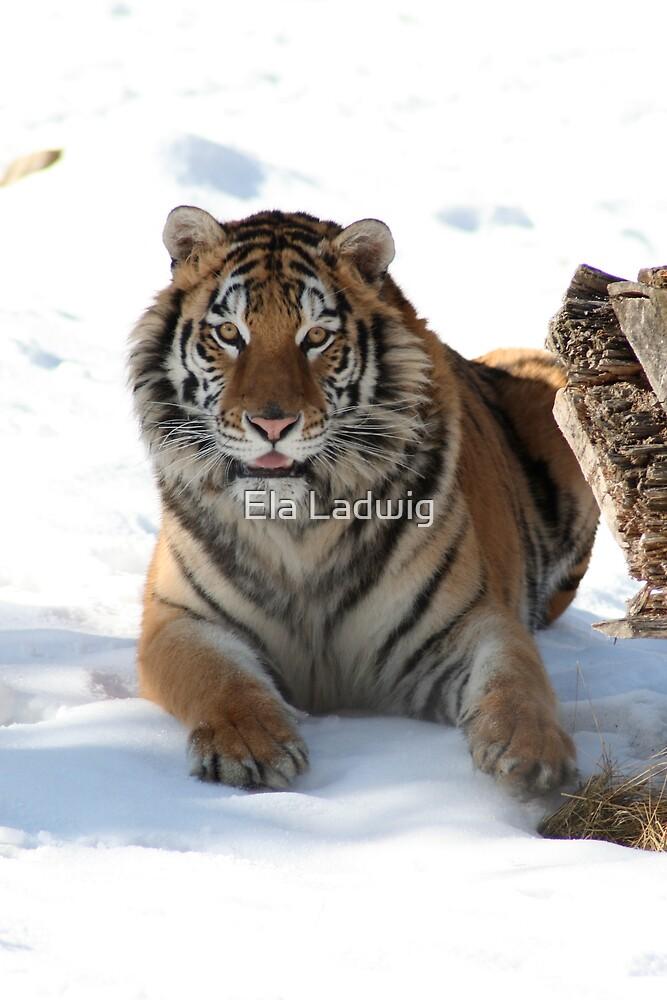 Tiger by Ela Ladwig