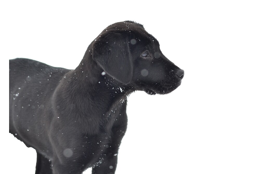 Black Lab Puppy by anna-banana