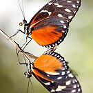 Heliconius by Brian Haslam