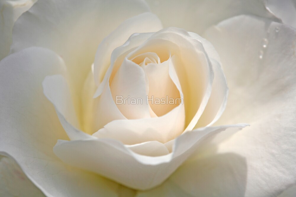 White Rose by Brian Haslam