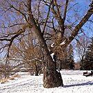 Winter Tree, Ottawa, ON, Canada by Shulie1