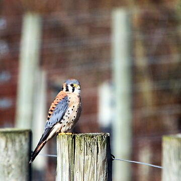 Sparrowhawk... by RichImage