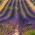 Lavender Fields Forever by Marylou Badeaux