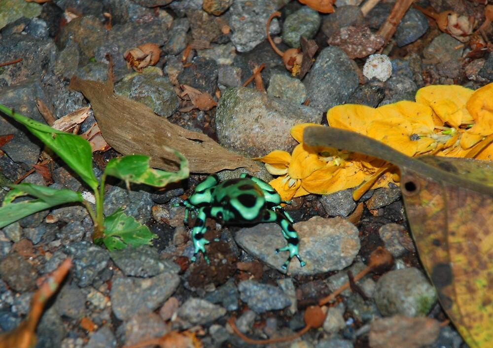 Poison Dart Frog by Furlong