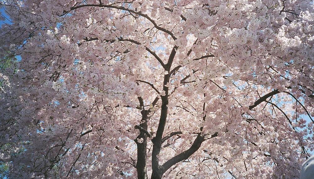 Cherry Blossoms by Elizabeth Thurston