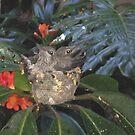 Baby Hummingbirds ~ Imperial Beach, California ~ USA by Marie Sharp