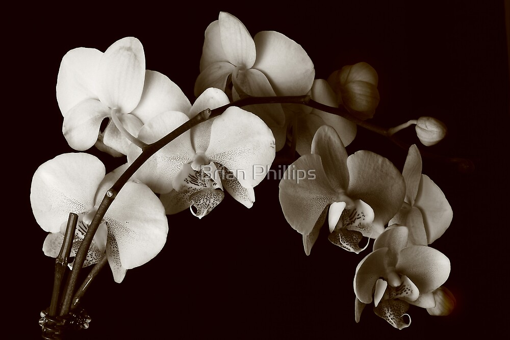 Orchids by Brian Phillips