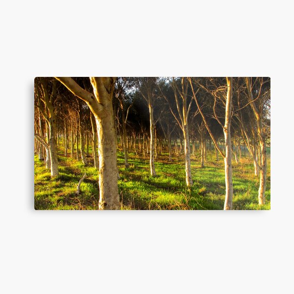 Forest at dawn Metal Print