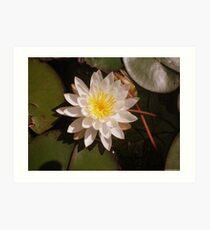 A Beautiful Lily Pad Water Flower Art Print