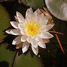 A Beautiful Lily Pad Water Flower by 1greenthumb