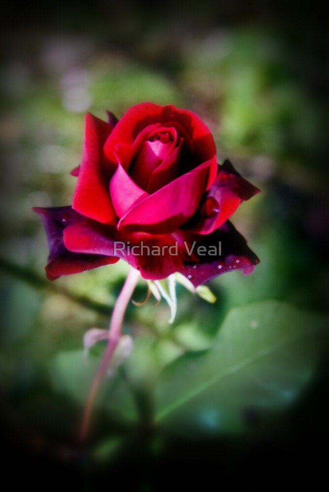A Rose for You by kcphotography