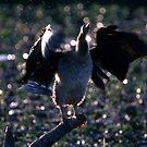 Little Black Cormorant by helmutk