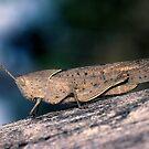 Grasshopper by helmutk