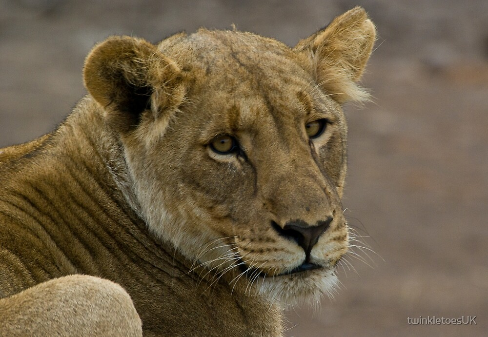 Lioness, Medikwe Hills by twinkletoesUK