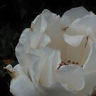 Silken White Rose by Riihele