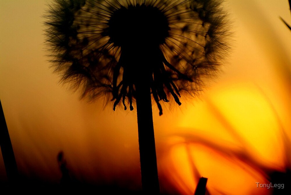 Dandylion sunset... by TonyLegg