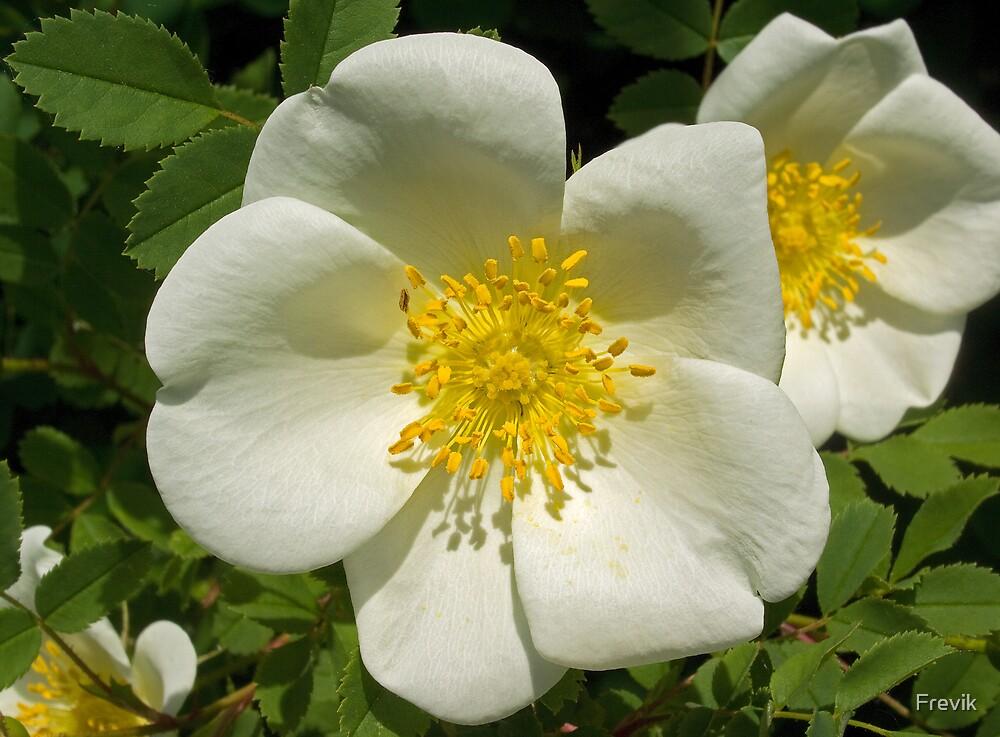 White flower by Frevik