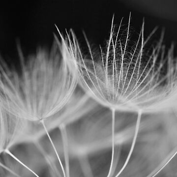 Dandelion Closeup in Black White by YLArt