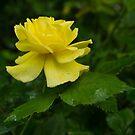 Yellow Rose Pearls by Georgia Mizuleva