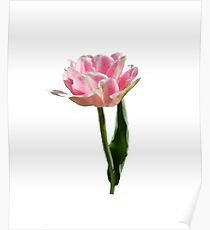 Blooming Pink Tulip Poster