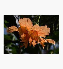 Glowing Orange Hibiscus Photographic Print