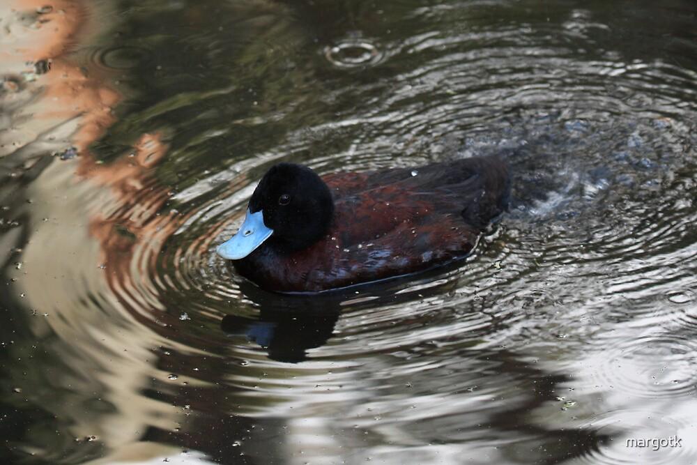 Blue-Billed Duck by margotk