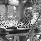 Leopard by wahboasti