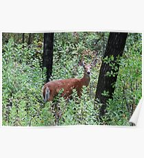 Whitetailed Doe Poster