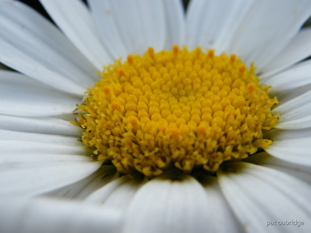 Middle Daisy Macro by pat oubridge
