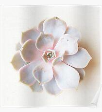 Pink Succulent II Poster