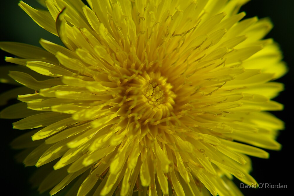 Dandelion by David O'Riordan
