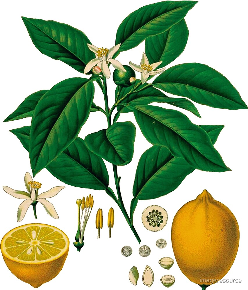 FF - Vintage - Lemons by imageresource