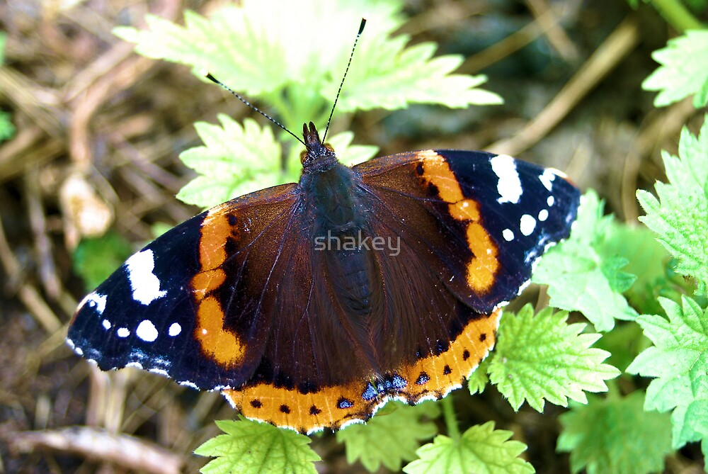 Red Admiral by shakey