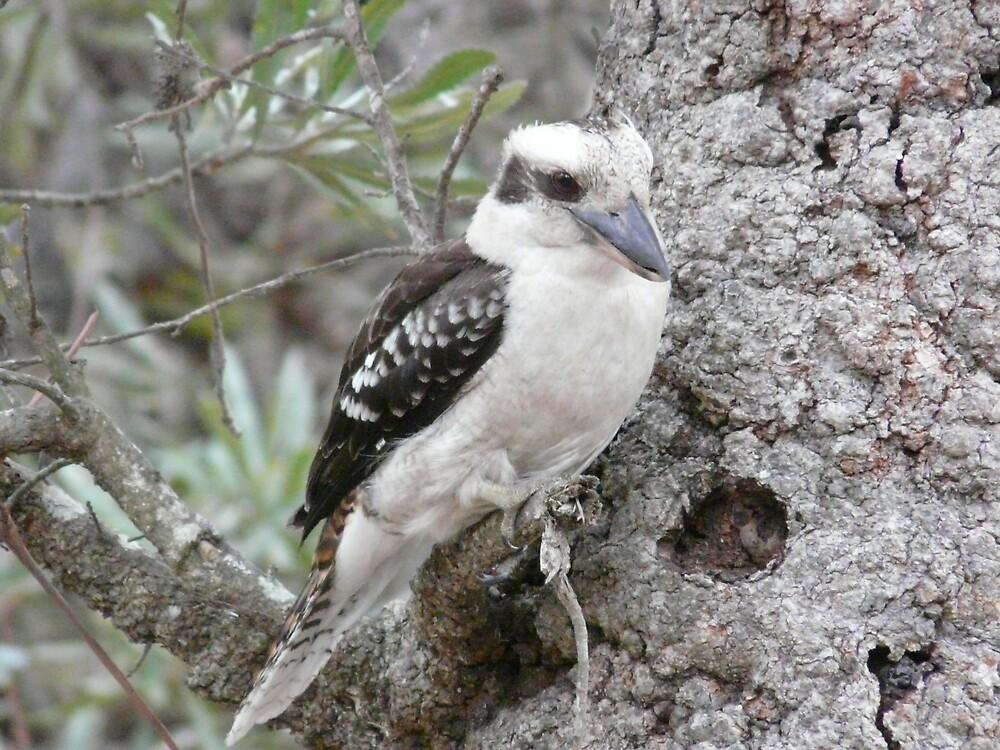 Kookaburra by Pinney