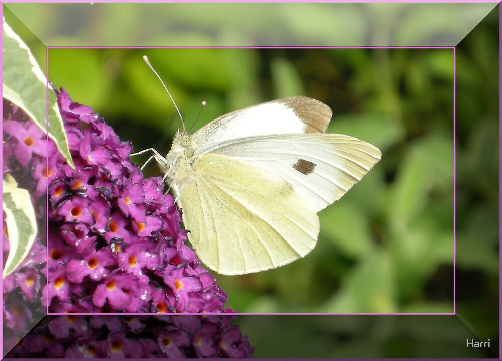 Butterfly by Harri