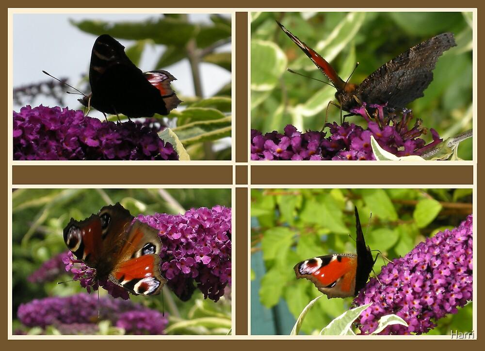 Butterfly Quartet by Harri