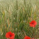 Poppies by Edward Gunn
