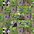 Blue Wren Collage by Coralie Plozza