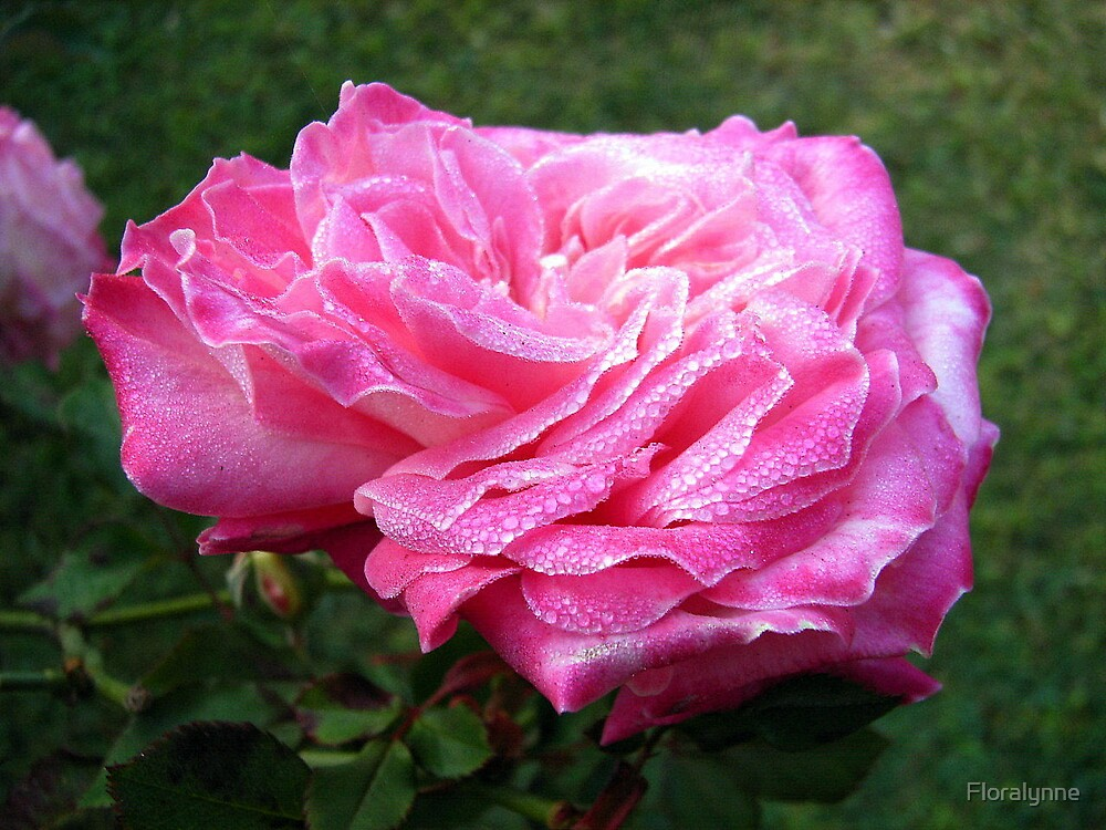 old rose by Floralynne