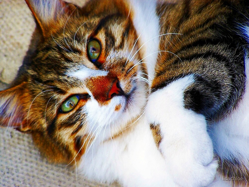 Ollie - Norwegian Forest Cat by lisachloe