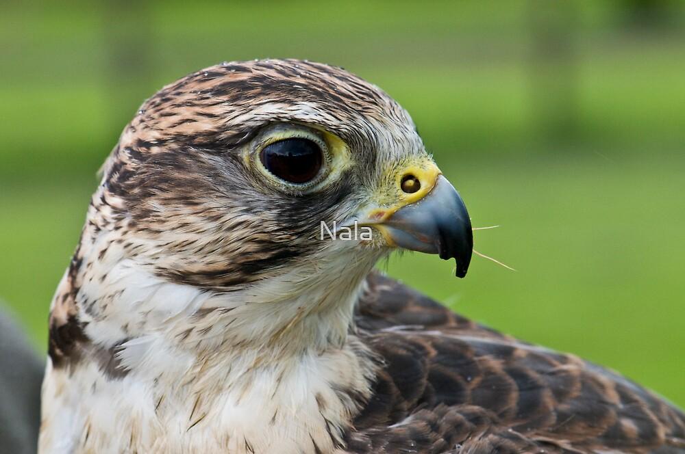 Falcons by Nala