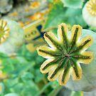 Poppy Bulb by Diane