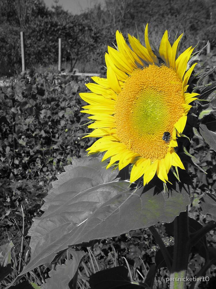 Sunflower by persnicketier10