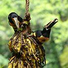 Toucan Hang by Hideki Aono