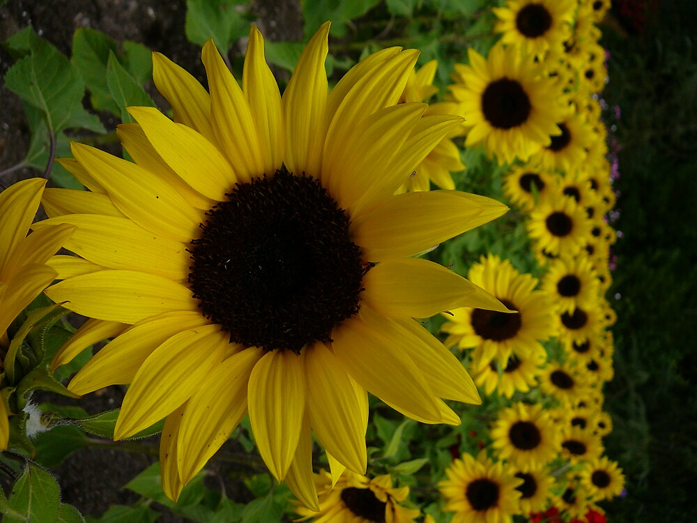 Sunflower Symphany by elfin4